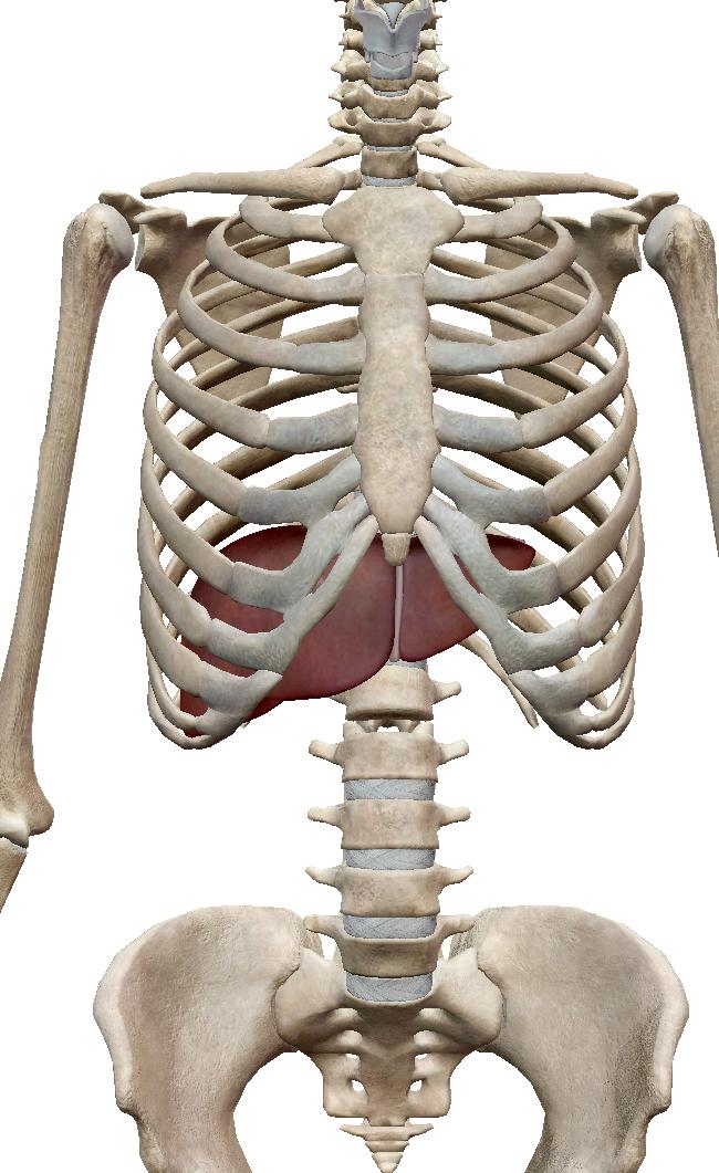 痛い 肋骨 真ん中 胸骨の真ん中の痛みに要注意!その意外な原因とは?